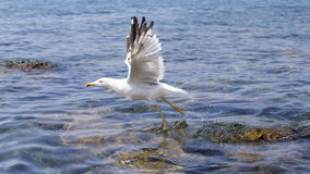 Seagull takes off from the sea. Royalty Free Stock Images