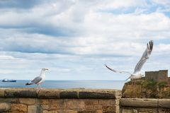 A seagull takes off a wall barrier as another one watches in fro. Nt of Tynemouth Priory and Castle in Tynemouth, United Kingdom royalty free stock photo