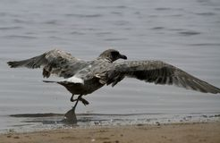Seagull taking flight. A seagull taking flight from the edge of the sandy shores Stock Photos