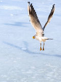 Seagull taking food from frozen water Stock Image