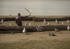 Seagull taking food man`s hand stock photography
