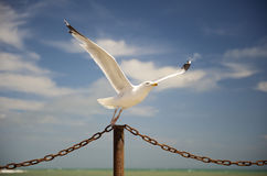Seagull taking off. Closeup of seagull with spread wings taking off from post, sea, in background royalty free stock images