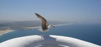 Seagull taking off Stock Photo