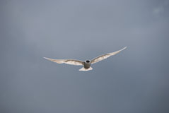 Seagull taking off Stock Images
