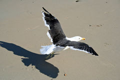 Seagull taking off Stock Image