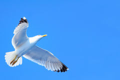 Seagull taking off Royalty Free Stock Photos
