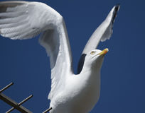 Seagull taking off. Seagull sat on the TV aerial caught taking off, beautiful wings Stock Photos