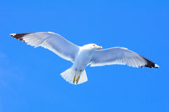 Seagull taking off Royalty Free Stock Photo