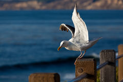 Seagull taking off from wooden pole Royalty Free Stock Photo