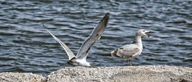A Seagull Talking Royalty Free Stock Image