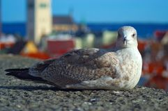 Seagull at Tallinn Royalty Free Stock Image