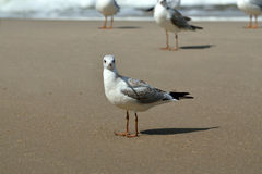 Seagull tans on the beach Royalty Free Stock Images