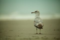 Seagull or Tern on the Beach Royalty Free Stock Photos
