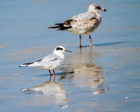 Seagull and Tern Royalty Free Stock Photography