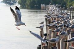 Seagull Thailand Fotografering för Bildbyråer