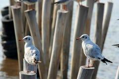 Seagull Thailand Royaltyfria Bilder
