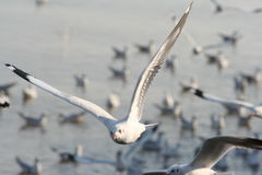 Seagull Thailand Royaltyfri Bild