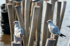 Seagull Thailand Royalty Free Stock Images