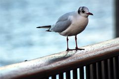 Seagull on the Thames Royalty Free Stock Image