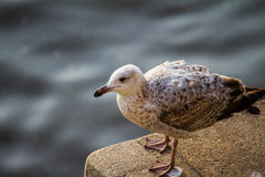 Seagull at the Thames. Seagull sitting on a rock with the Thames in background Royalty Free Stock Photo