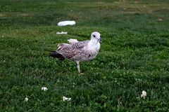 Seagull. There is a white seagull standing on the grass stock photos