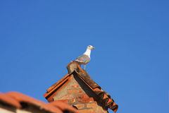 Seagull of tiled roof Royalty Free Stock Image