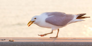 Seagull about to eat bread on a ledge near water. Royalty Free Stock Photos