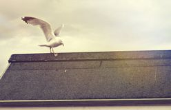 Seagull About to Take Flight Royalty Free Stock Photos