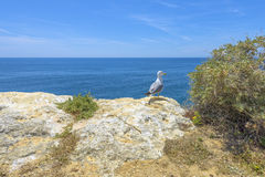 Seagull on top of a cliff looking at the Atlantic Ocean Stock Images