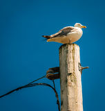 Seagull on top of a utility pole in Point Pleasant Beach, New Je Stock Images