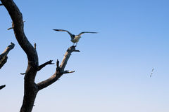 Seagull on tree over blue sky Royalty Free Stock Photo