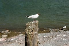Seagull on a tree stump Royalty Free Stock Photography