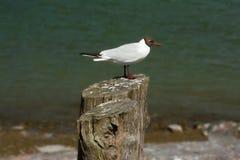 Seagull on a tree stump Stock Image