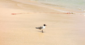 A seagull on a tropical beach Royalty Free Stock Image