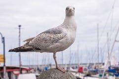 Seagull trwanie wciąż Zdjęcia Royalty Free