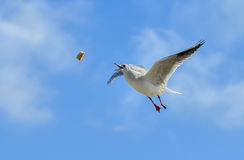 Seagull trying to catch food. Against sky background royalty free stock images