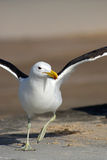 Seagull trying to fly. Seagull seen from the front with his wings spread out, trying to fly Stock Image