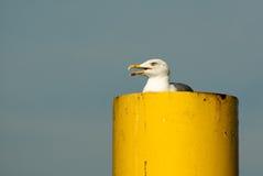 seagull tulejowy kolor żółty zdjęcia royalty free