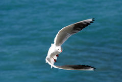Seagull in turn in Camogli Genoa Royalty Free Stock Photos