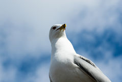 Seagull turning head and casting shadow. Stock Photo
