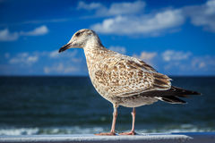 Seagull. Turning the head selective focus Stock Image