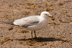 Seagull with turtle Royalty Free Stock Photo