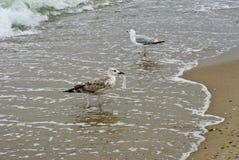 Seagull två fotografering för bildbyråer