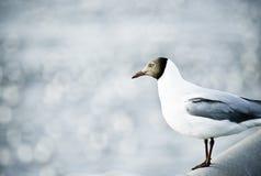 Seagull tyczenie na sztachetowym moscie Obrazy Stock