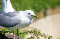 Seagull. A typical seaside summer image of seagull stock photography