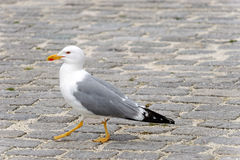 Seagull Stock Images