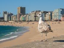 Seagull umieszczał na ścianie, patrzeje nad plażą na pogodnym letnim dniu w Portugalia zdjęcia stock