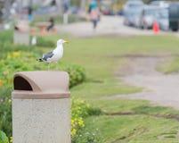 Seagull Umieszczający na kubeł na śmieci Obrazy Stock