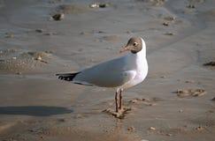 Seagull umieszczający na piasku Fotografia Royalty Free