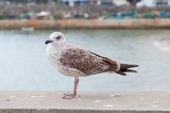 Seagull umieszczający na porcie obrazy royalty free